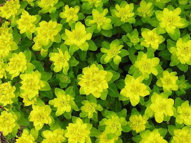 Cut back flowered stems of Euphorbia as they are susceptible to mildew