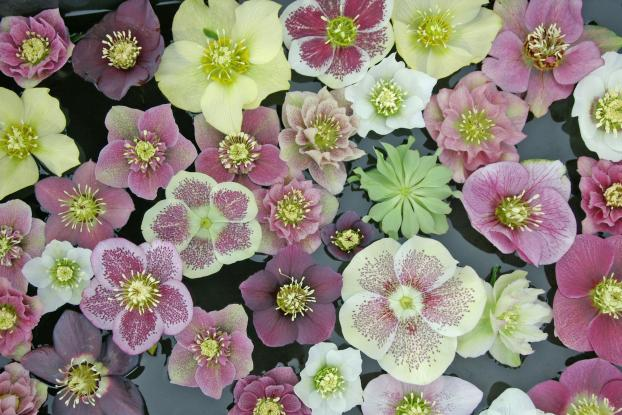 Hellebore flowers in a bowl