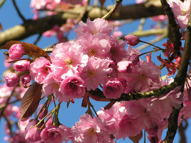 Prunus (Flowering Cherry) Kansan