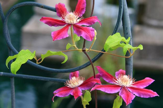Layer clematis to propagate in August