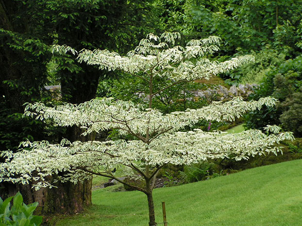 Cornus controversa 'Variegata' Wedding Cake Tree