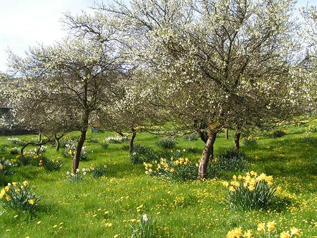 old damson orchard in the Lyth Valley, cumbria