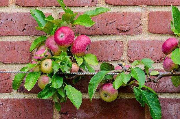 Summer prune apple & pear trees that are trained as cordons & espaliers in August