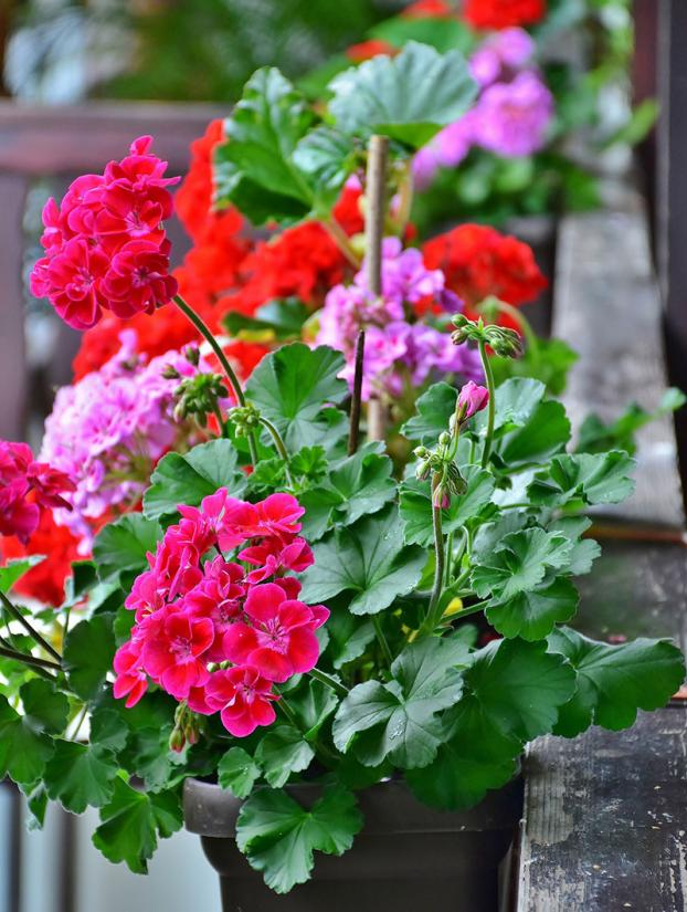 Take cuttings from tender plants in September