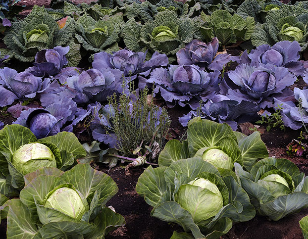 cabbages in the vegetable garden