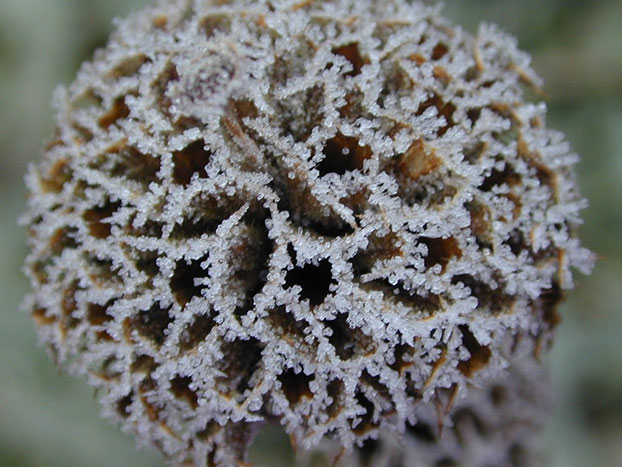 frosty phlomis head