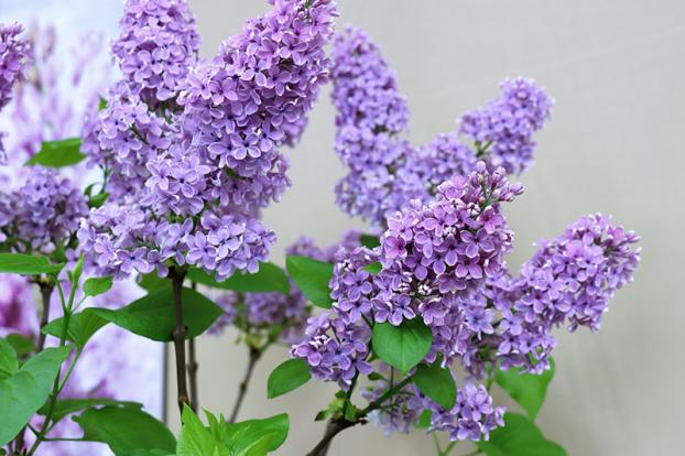 Prune Lilacs flower spikes when flowering is over