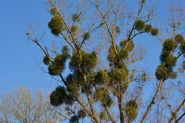 tree with heavy mistletoe infestation