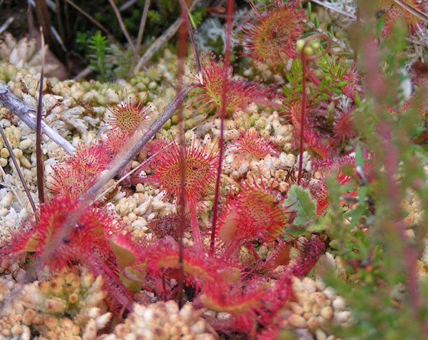 Sundews Drosera rotundifolia