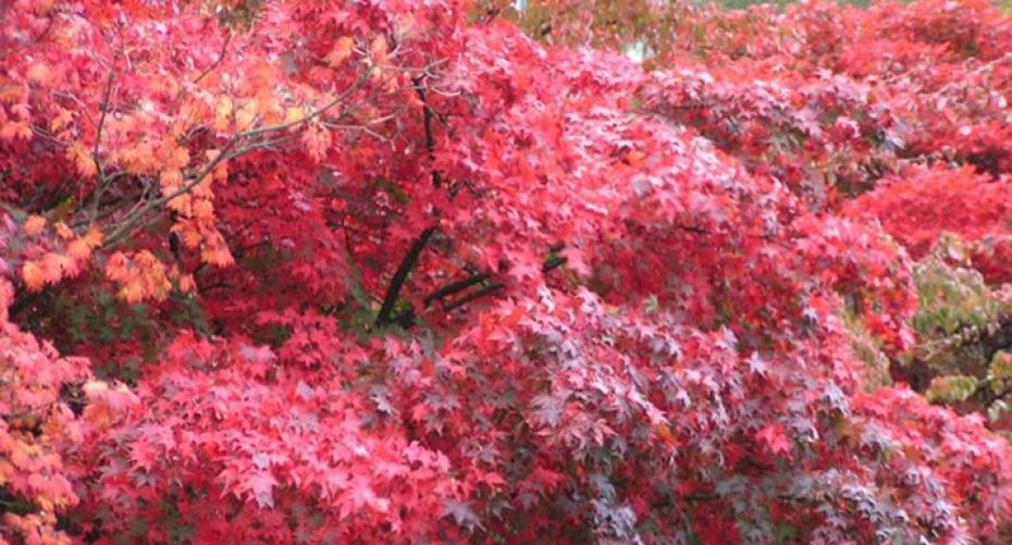 Acers showing autumn colour