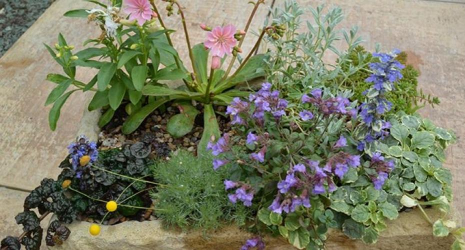Trough planted with alpine plants