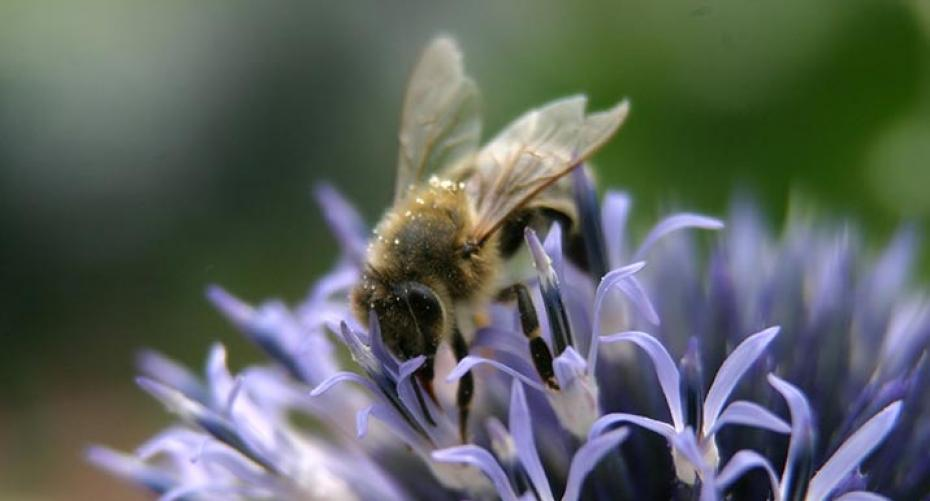 Bee on Echinops