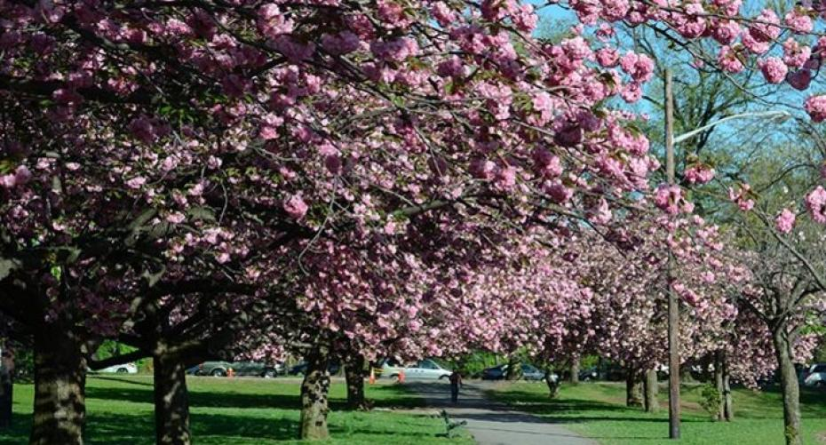 Avenue of flowering cherries in a city park