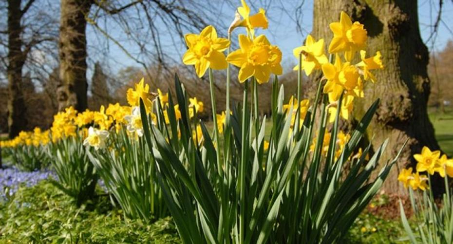 Daffodils in wood