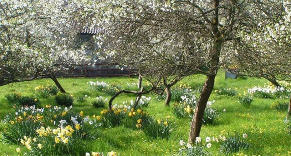 Daffodils growing under damson trees in the Lyth Valley