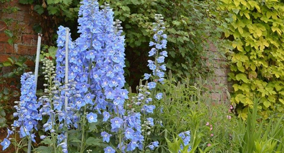 Delphiniums at Holehird, Lakeland Horticultural Society