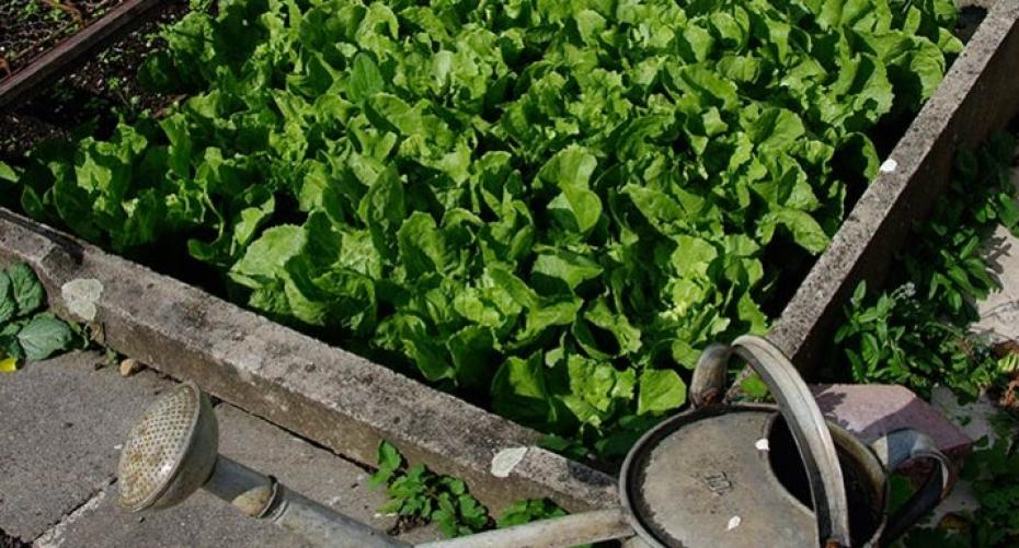 Salad crop in a small bed
