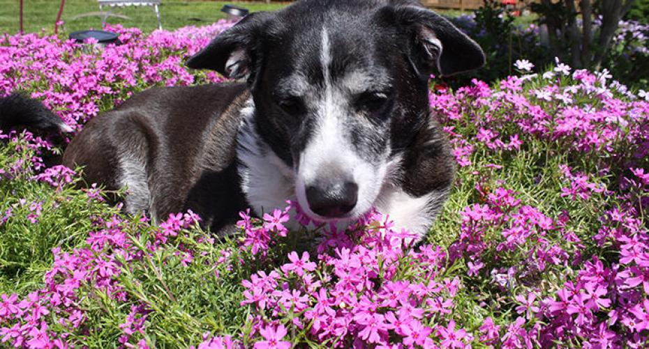 black and white collie dog resting on pink phlox flowers