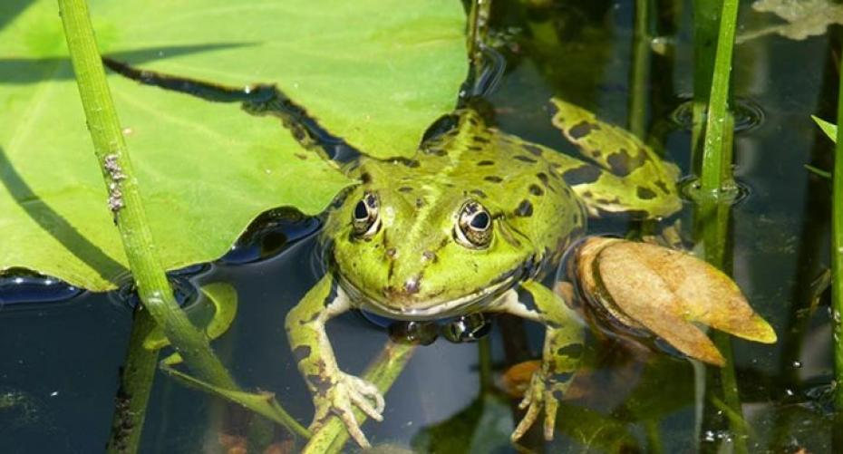 Frog in pond next to water lily