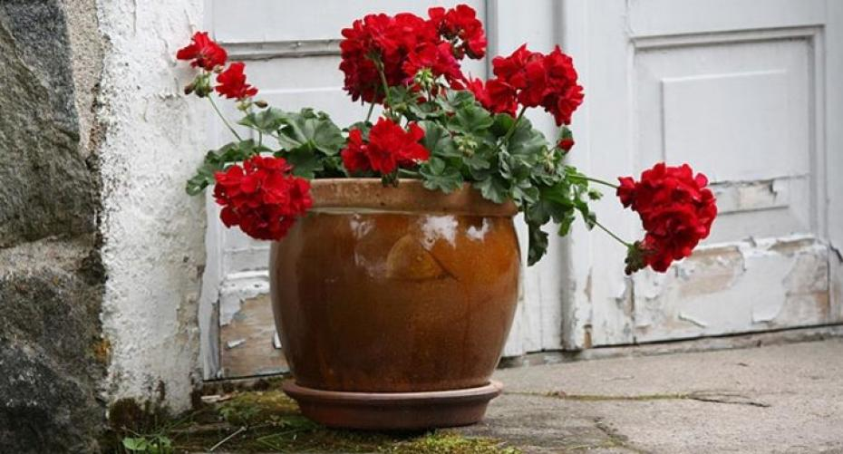 Red geraniums in pot