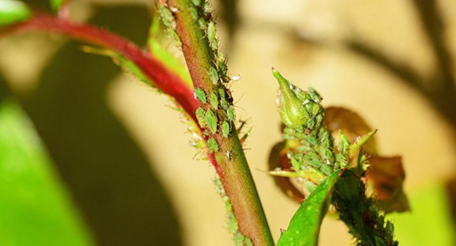 How to get rid of green flies in garden