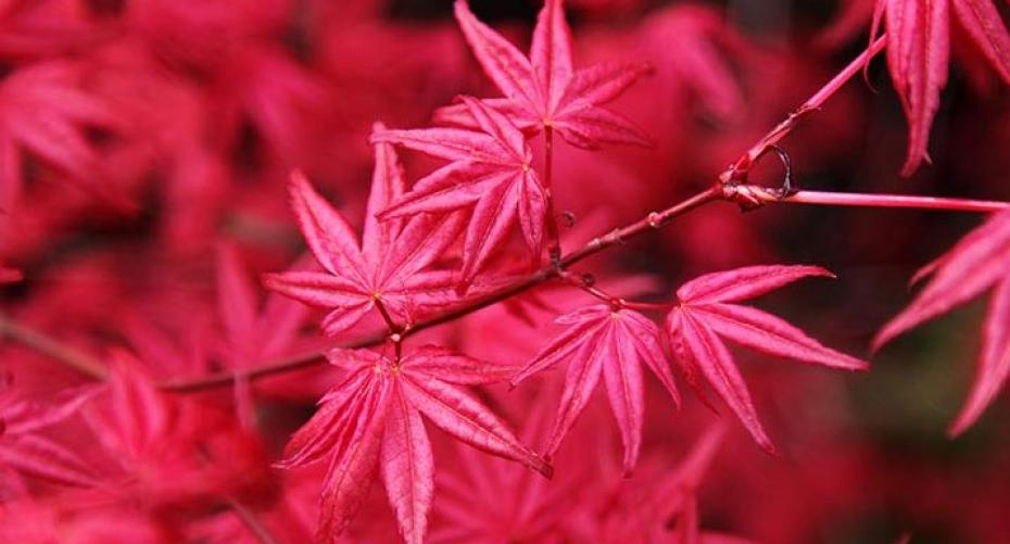 Pink Japanese maple