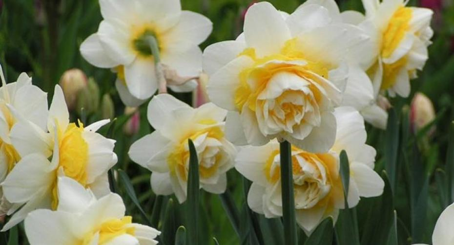 Double flowered daffodils