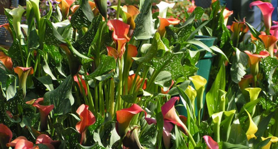 Calla lilies at Hayes Garden World