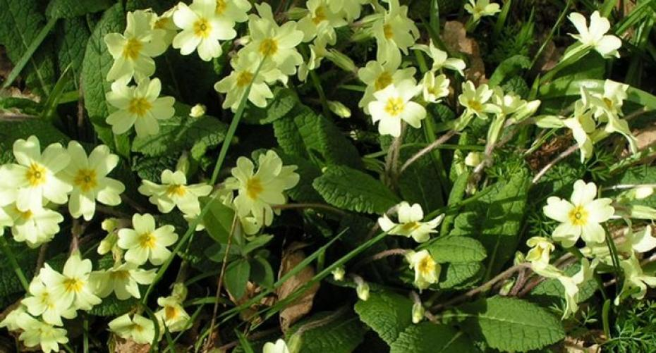 Wild primroses growing on a shady bank