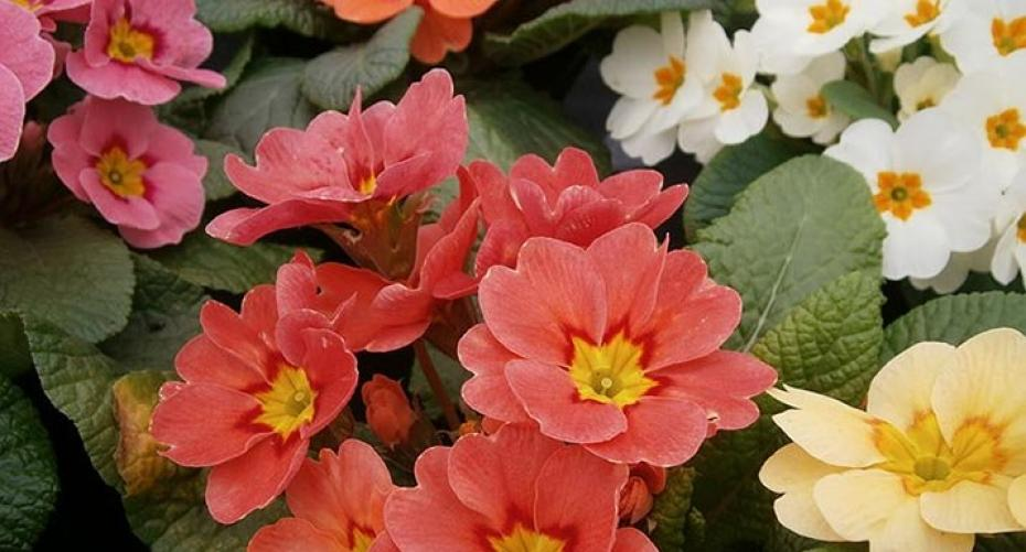 Bedding primulas, mixed colours