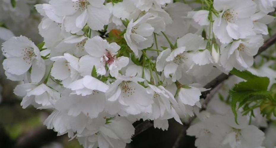 Prunus (Flowering Cherry)