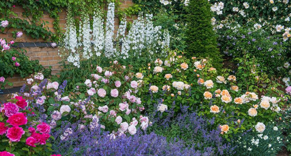David Austin roses in a mixed herbaceous border