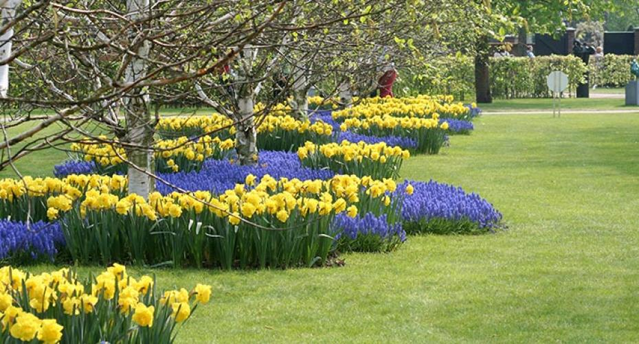 Daffodils and muscari growing under silver birch trees
