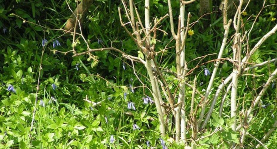 Hedgerow bottom in spring with English bluebells and celandines