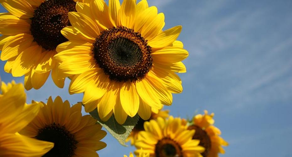 Children will enjoy growing Sunflowers