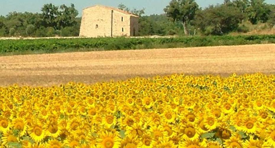 Field of sunflowers in Italy