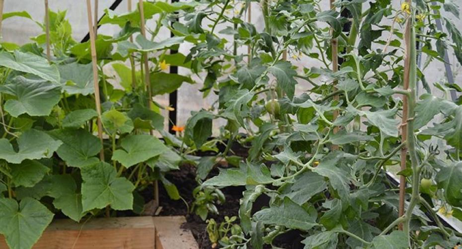 Tomatoes & cucumbers growing in greenhouse