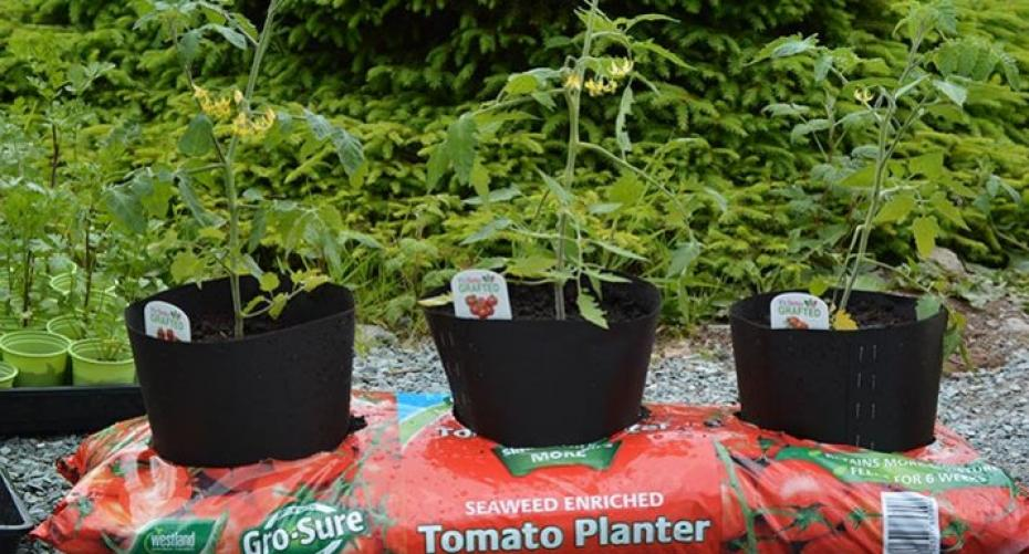 Tomatoes growing in a growbag