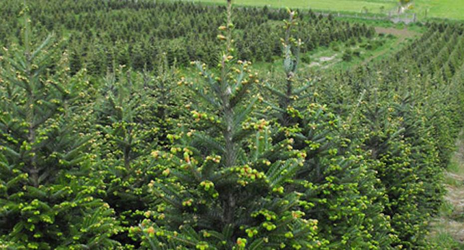 Plantable Christmas Tree.From Seed To Christmas Tree Hayes Garden World