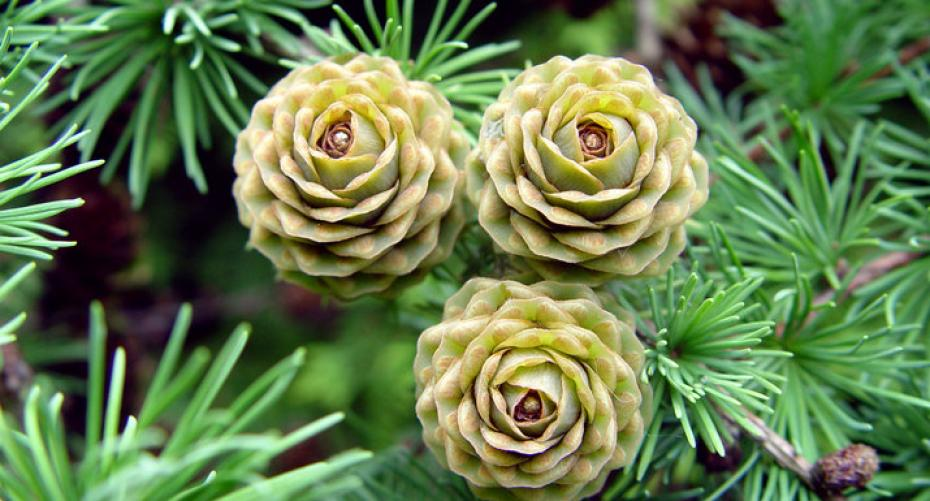 Young conifer cones