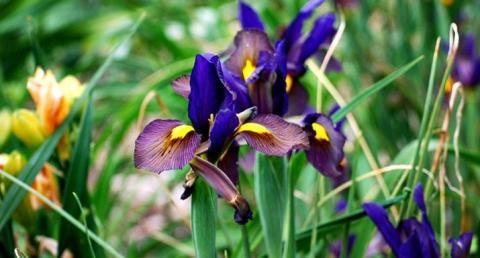 How To Grow Irresistible Iris Hayes Garden World