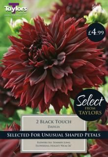 Taylor's Dahlia Black Touch